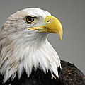Bald Eagle Portrait by Theo OConnor