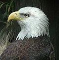 Bald Eagle by Renee Hardison