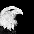 Bald Eagle by Stephanie McDowell