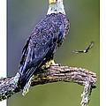 Bald Eagle by Tom Schmidt