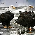 Bald Eagle Trio by Carrie OBrien Sibley