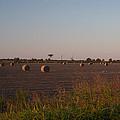 Bales In Peanut Field 1 by Douglas Barnett
