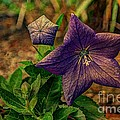 Balloon Flower - Antiqued by Michael Garyet