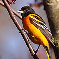 Baltimore Oriole Iv by Bruce J Robinson