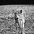 Bambi In Black And White by Sebastian Musial