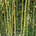 Bamboo by Carol Groenen