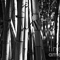 Bamboo Forest by Gaspar Avila