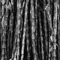 Bamboo II by Donovan Conway