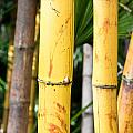 Bamboo by Tom Gowanlock