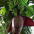 Banana Bloom by Robin Becker