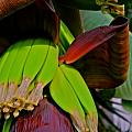 Banana Plant I by Kirsten Giving