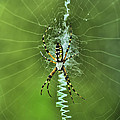 Banana Spider With Web by Deborah Benoit