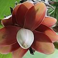 Banana Tree Blossom by Valia Bradshaw