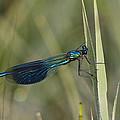 Banded Demoiselle Calopteryx Splendens by Konrad Wothe