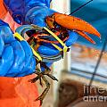 Banding An American Lobster In Chatham On Cape Cod by Matt Suess