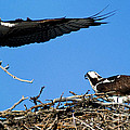 Banff - Osprey 1 by Terry Elniski