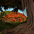 Banyan And Poinciana Trees by Roger Mullenhour