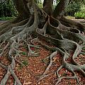 Banyan Tree And Roots In Sarasota Florida by Mike Nellums