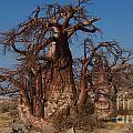 Baobabs by Mareko Marciniak