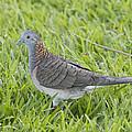 Bar-shouldered Dove by Douglas Barnard