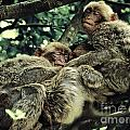 Barbary Apes Macaques Babies Budddies Gang by Anja Freak