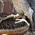 Barbary Falcon Feet by Lainie Wrightson