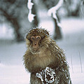Barbary Macaque Macaca Sylvanus Male by Cyril Ruoso