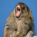 Barbary Macaque Macaca Sylvanus Yawning by Martin Woike