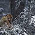 Barbary Macaque Male With Infant by Cyril Ruoso