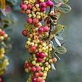Barberry (berberis Sp.) by Dr Keith Wheeler