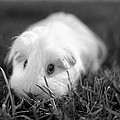 Barbie Guinea Pig by Mariola Bitner