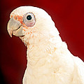 Bare Eyed Cockatoo by Larry Allan