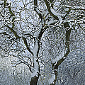 Bare, Snow-covered Tree In Winter by Cyril Ruoso