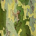 Bark Of A Sycamore Tree by Mike Grandmailson