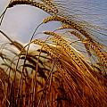 Barley, Co Meath, Ireland by The Irish Image Collection