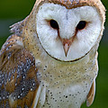 Barn Owl by Celine Pollard