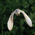 Barn Owl Flying by Tony McLean