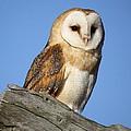 Barn Owl by Paulette Thomas