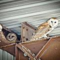 Barn Owls 1 by Jerry Ellison