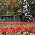 Barn Surrounded By Tulips by Jeannine Welfelt