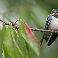 Barn Swallow Hirundo Rustica Fledgling by Cyril Ruoso