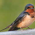 Barn Swallow by Laurel Talabere