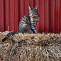 Barnyard Cat by Paul Ward