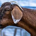 Barnyard Goat by Brian Stevens