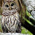 Barred Owl by Bill Dodsworth