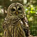 Barred Owl by Rachel Duchesne