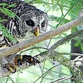 Barred Owl With Crawfish by Betty Berard