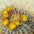 Barrel Cactus by Christie Starr Featherstone