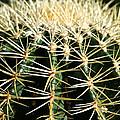 Barrel Cactus by Susan Herber