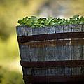 Barrel Of Collards by Kim Henderson